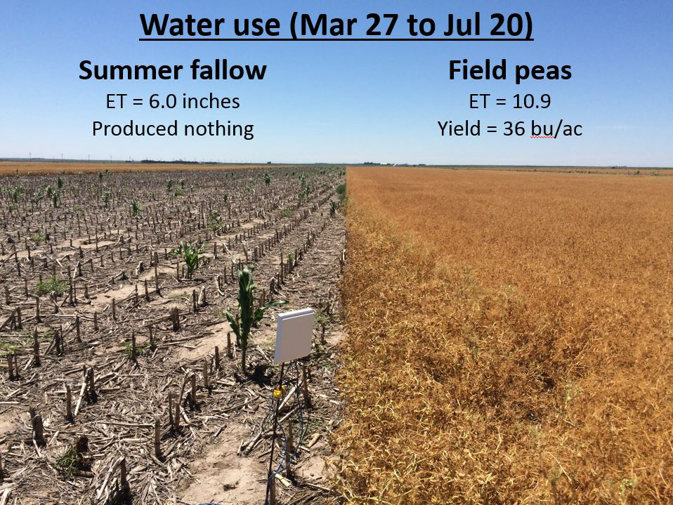 Field shot comparing field pea vs summer fallow water use
