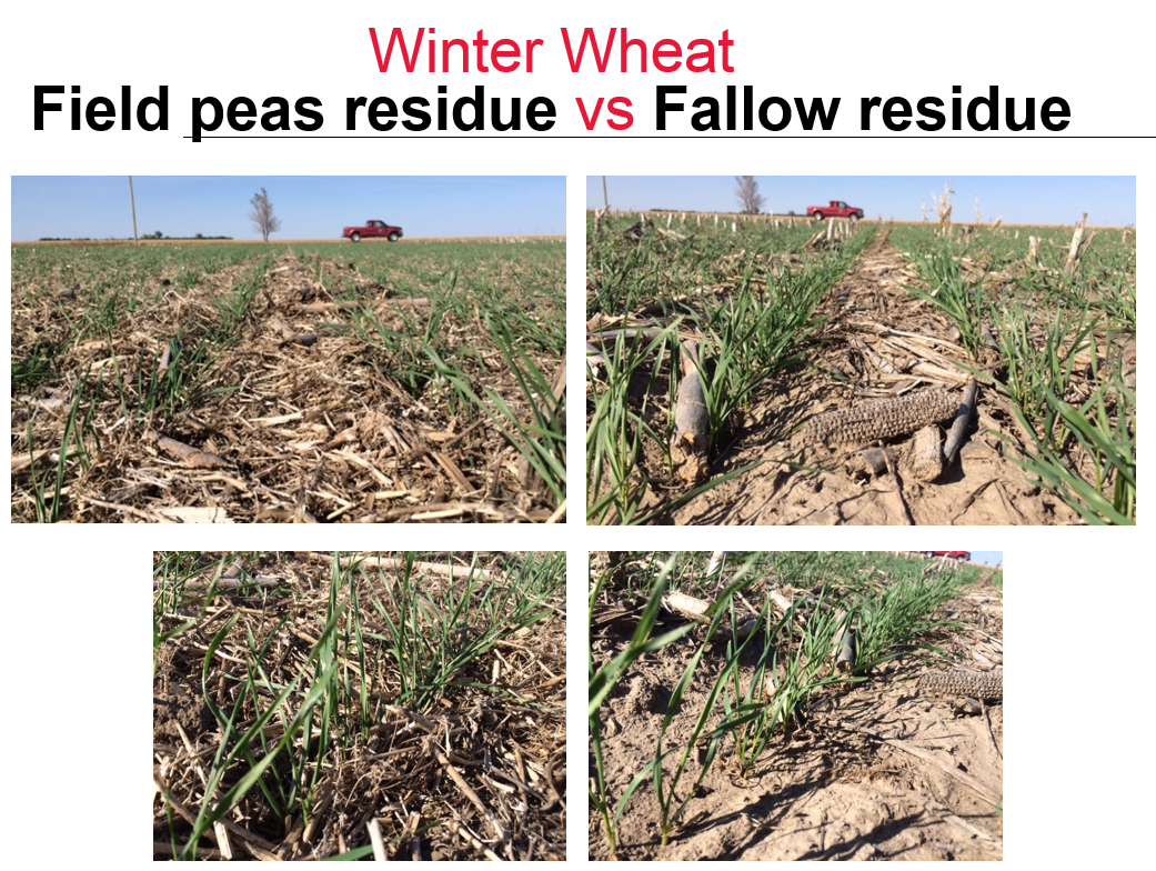 Photos comparing residue levels of field peas and fallow in newly planted winter wheat.