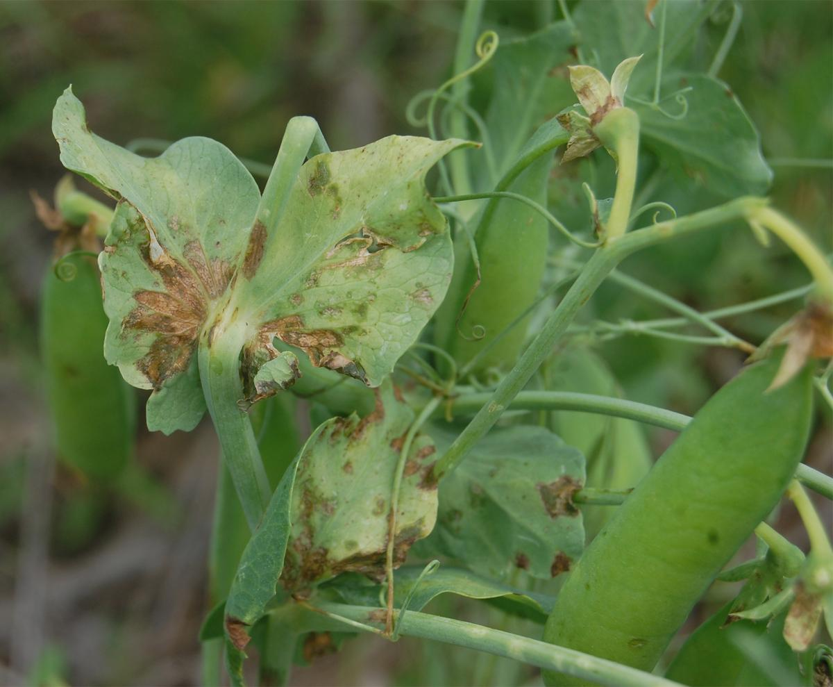 dry pea bacterial blight