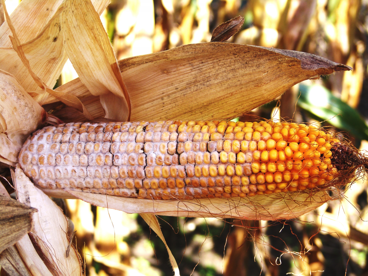 Diplodia ear rot in corn