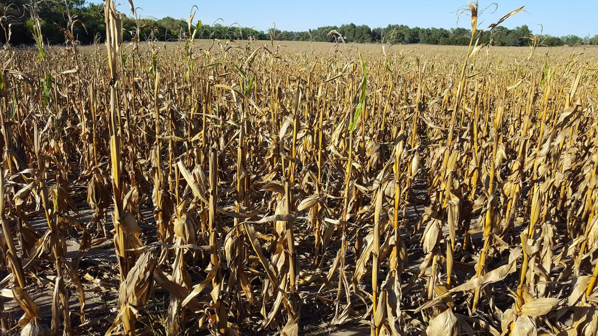 Corn top dieback from anthracnose