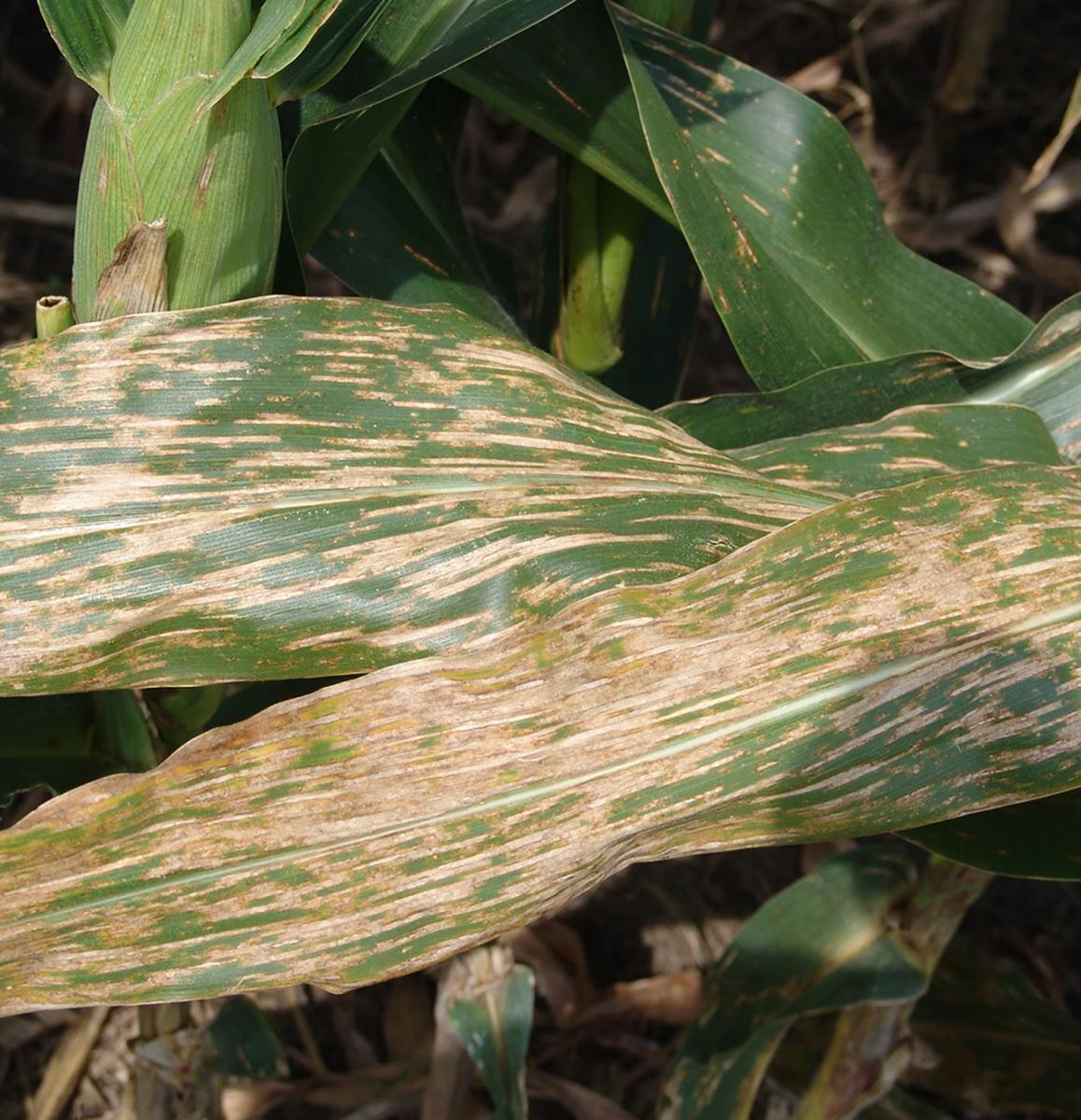 Corn leaf with severe gray leaf spot