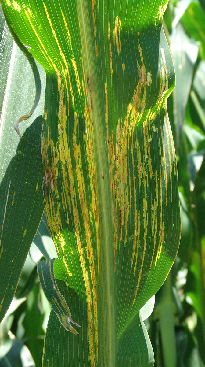 Bacterial leaf streak exhibiting typical wavy areas.
