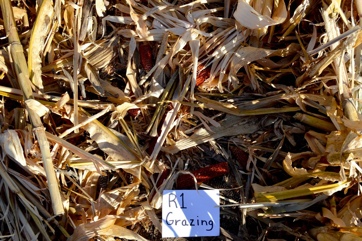 Corn residue after grazing