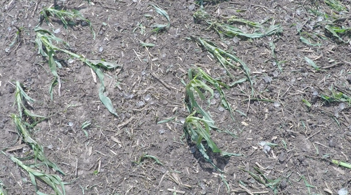 hail-damaged corn plant
