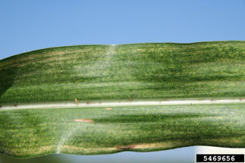 Twospotted spider mite damage in corn