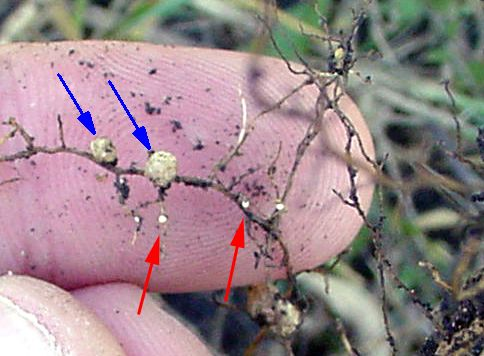 Soybean cysts nematode cysts and nitrogen nodules on soybean roots