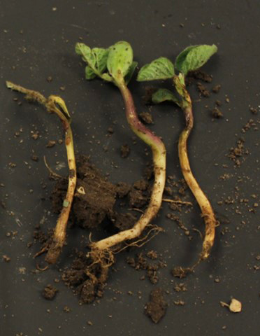 Soybean seedling exhibiting herbicide and disease damage