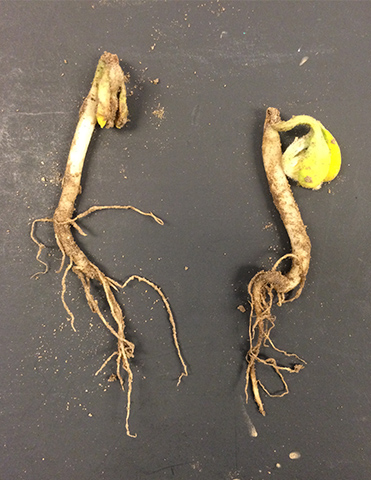 Soybean seeding with necrosis on Hypocotyl