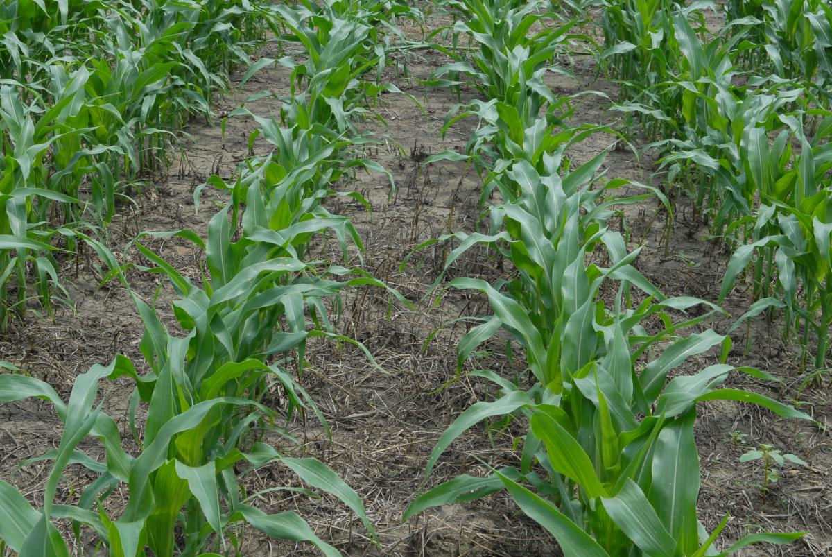 Acuron A New Corn Herbicide Cropwatch University Of