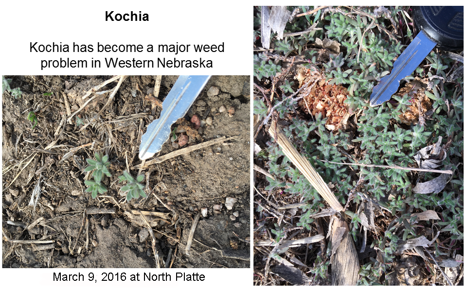 Kochia seedlings