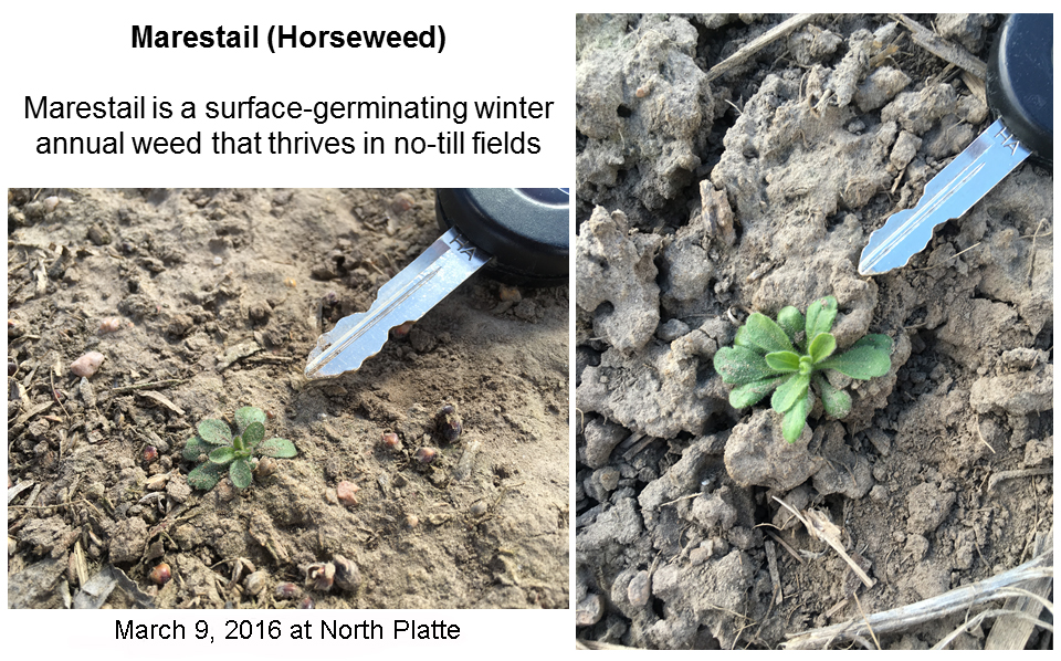 Marestail seedlings