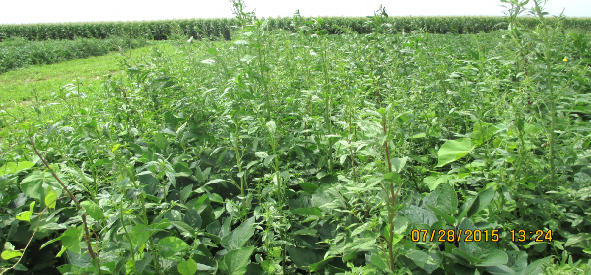 Soybean control plot with no herbicide treatment