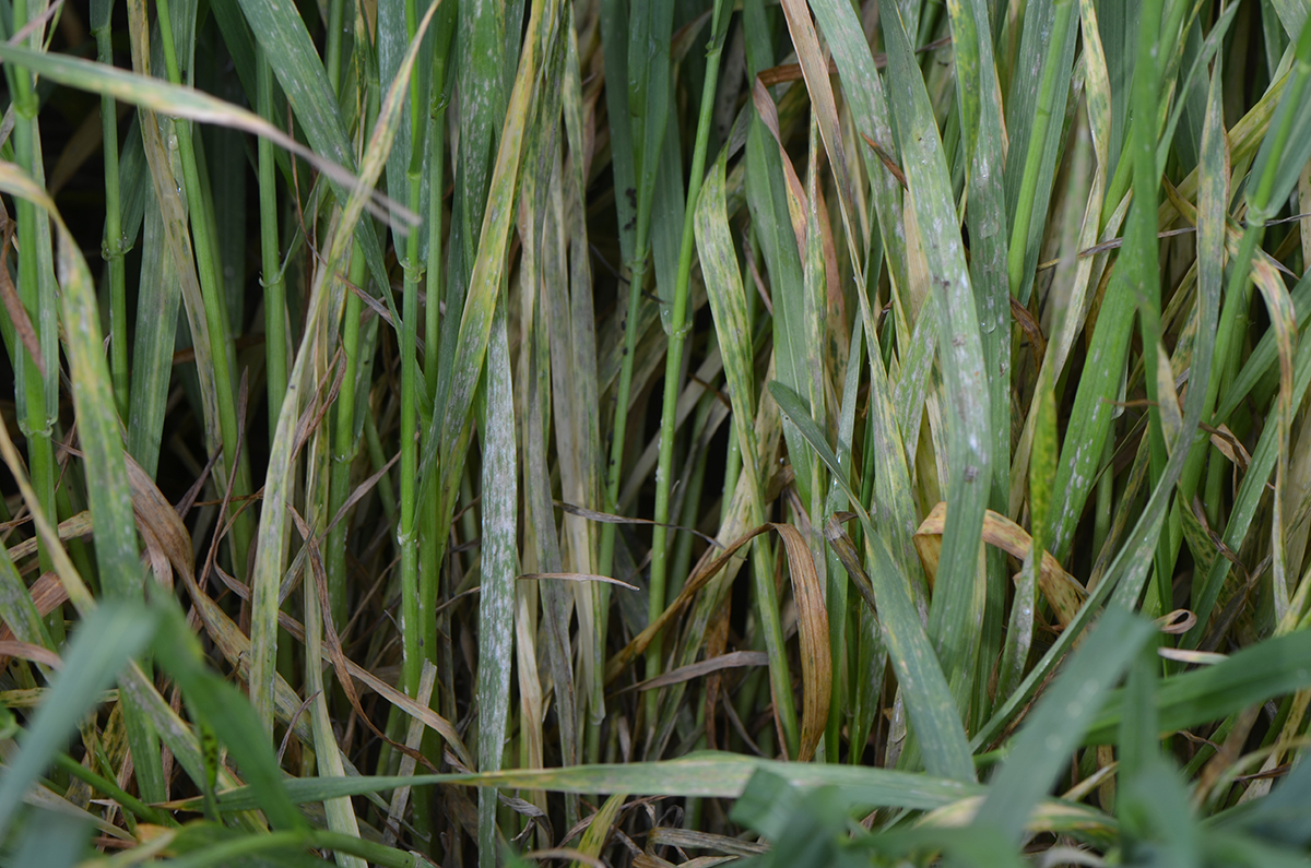 After Rains Some Wheat Diseases Increasing Cropwatch