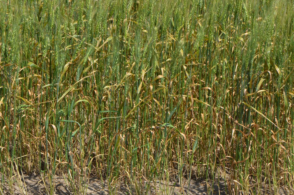 Wheat field with dieing leves due to leaf rust