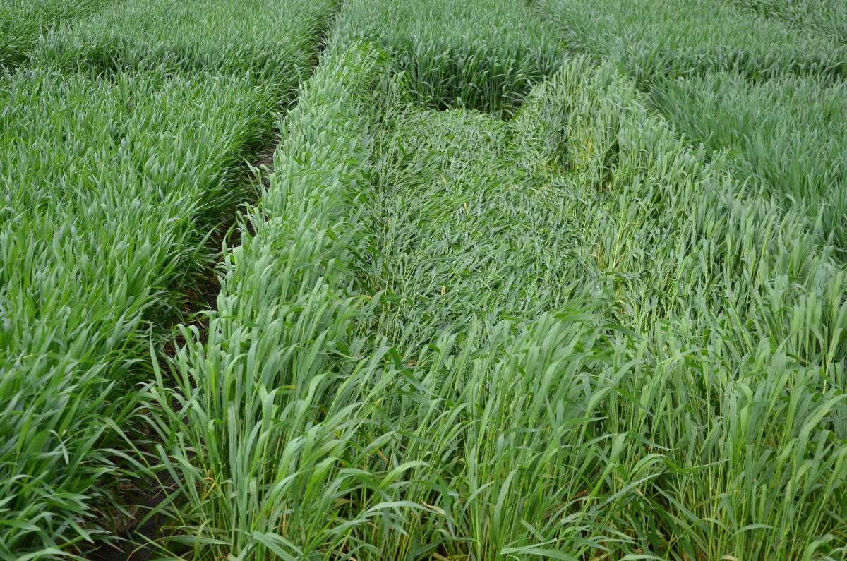 Severe lodging in wheat