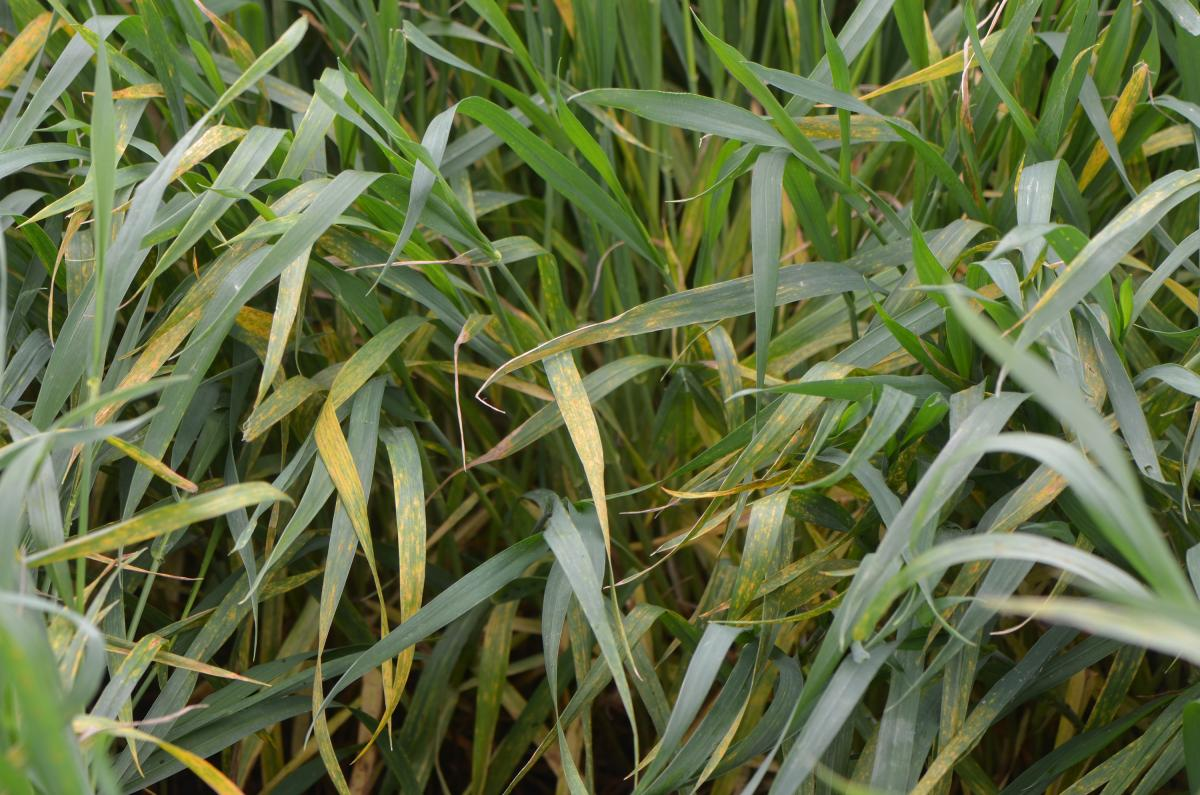 Advanced stripe rust in wheat