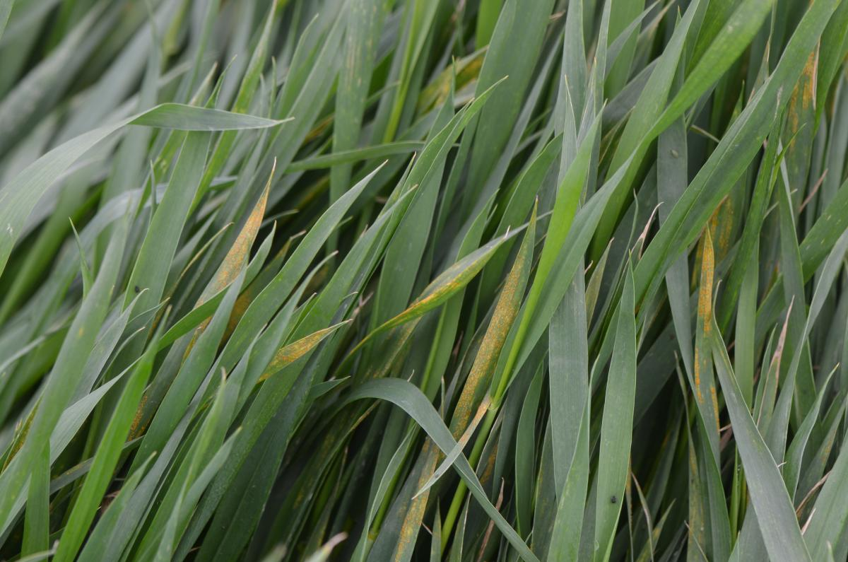 Stripe rust in wheat