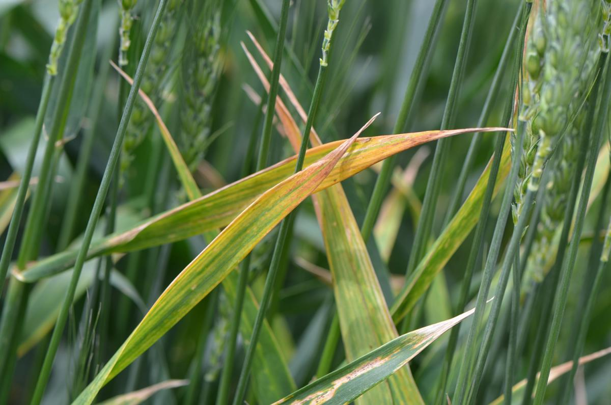 Fungal Leaf Diseases of Barley and Fungicide Use in Barley (06/16/16)