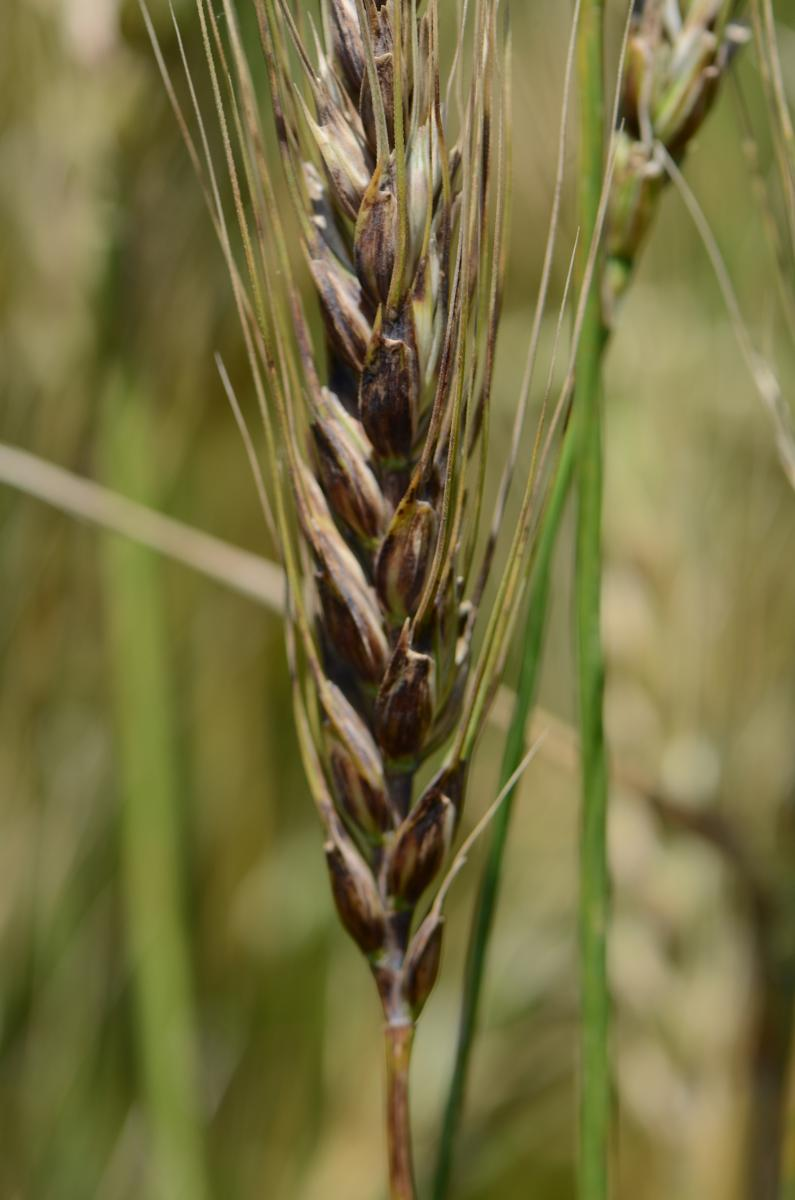 Black chaff in wheat
