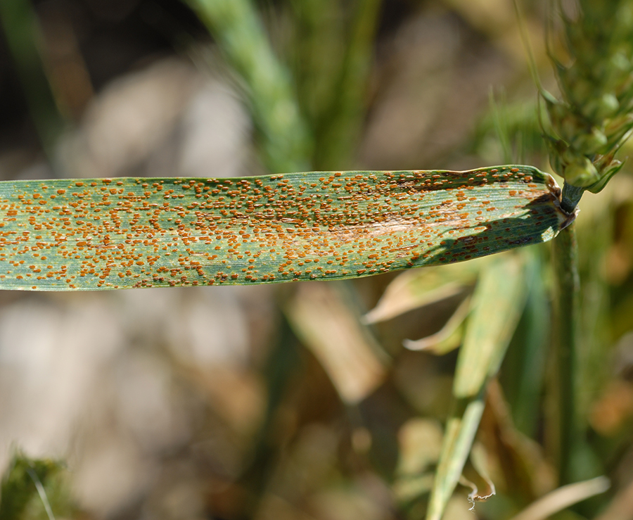 Wheat leaf rust