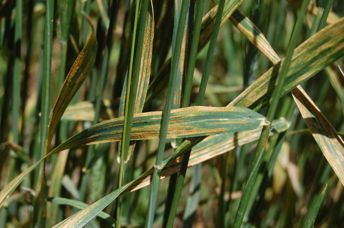Striped rust in wheat