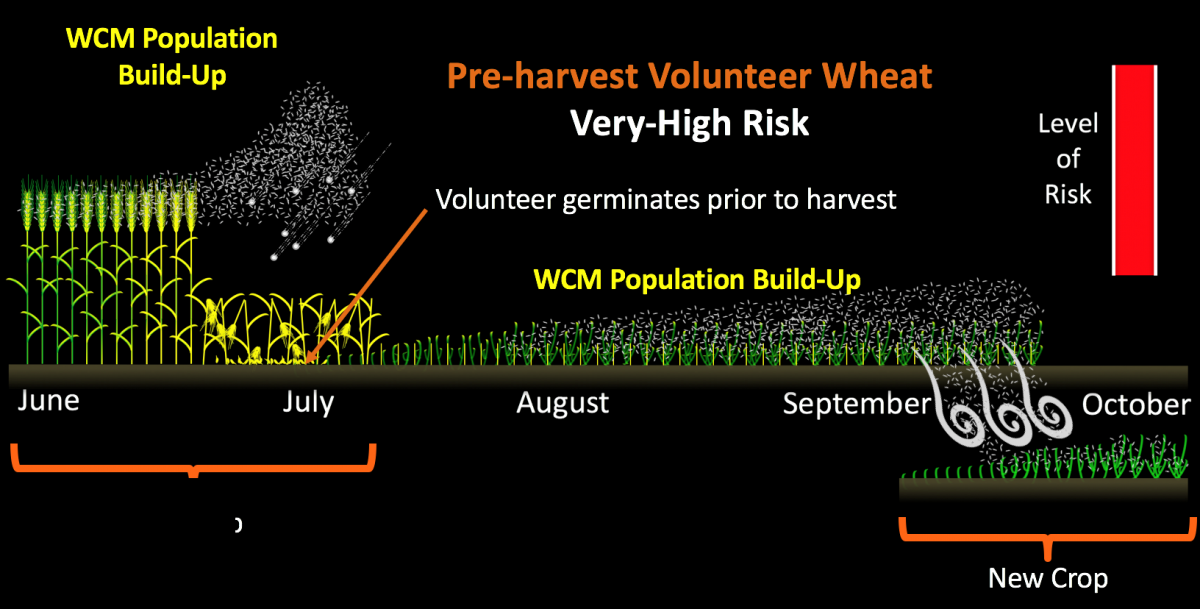 Volunteer wheat situation creating high risk