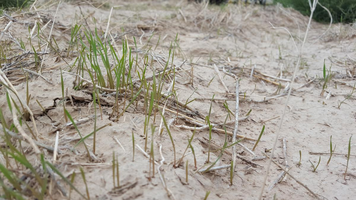 Downy brome in wheat