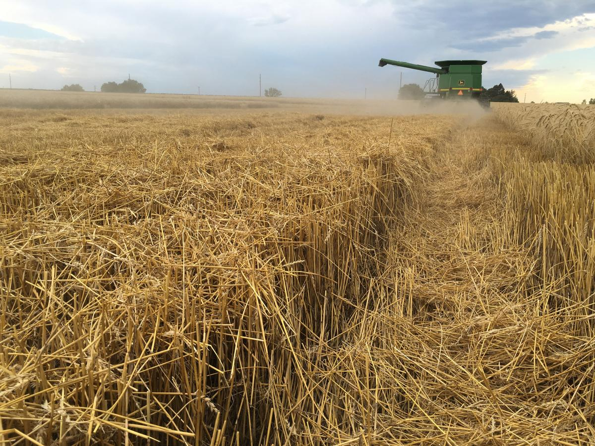 Combine haravesting wheat in western Nebraska