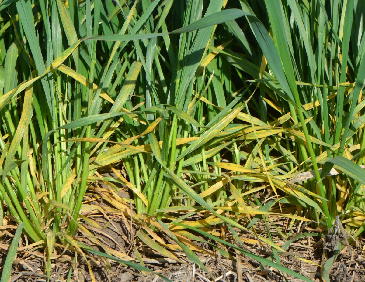 Powdery mildew in wheat
