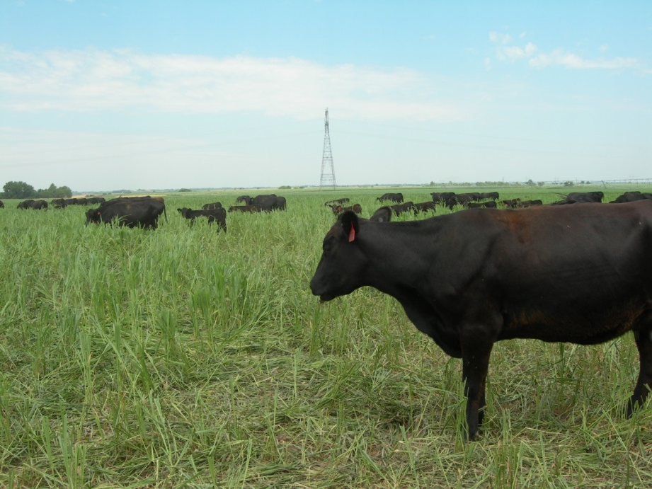 cattle grazing forages