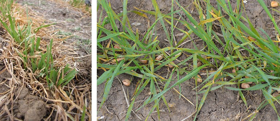 Growers are urged to scout their winter wheat for potential damage from cutworms (left) and diseases, including stripe rust (right).
