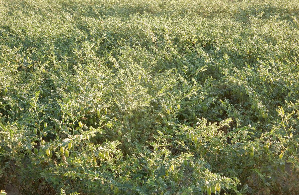 chickpea cultivar field trial
