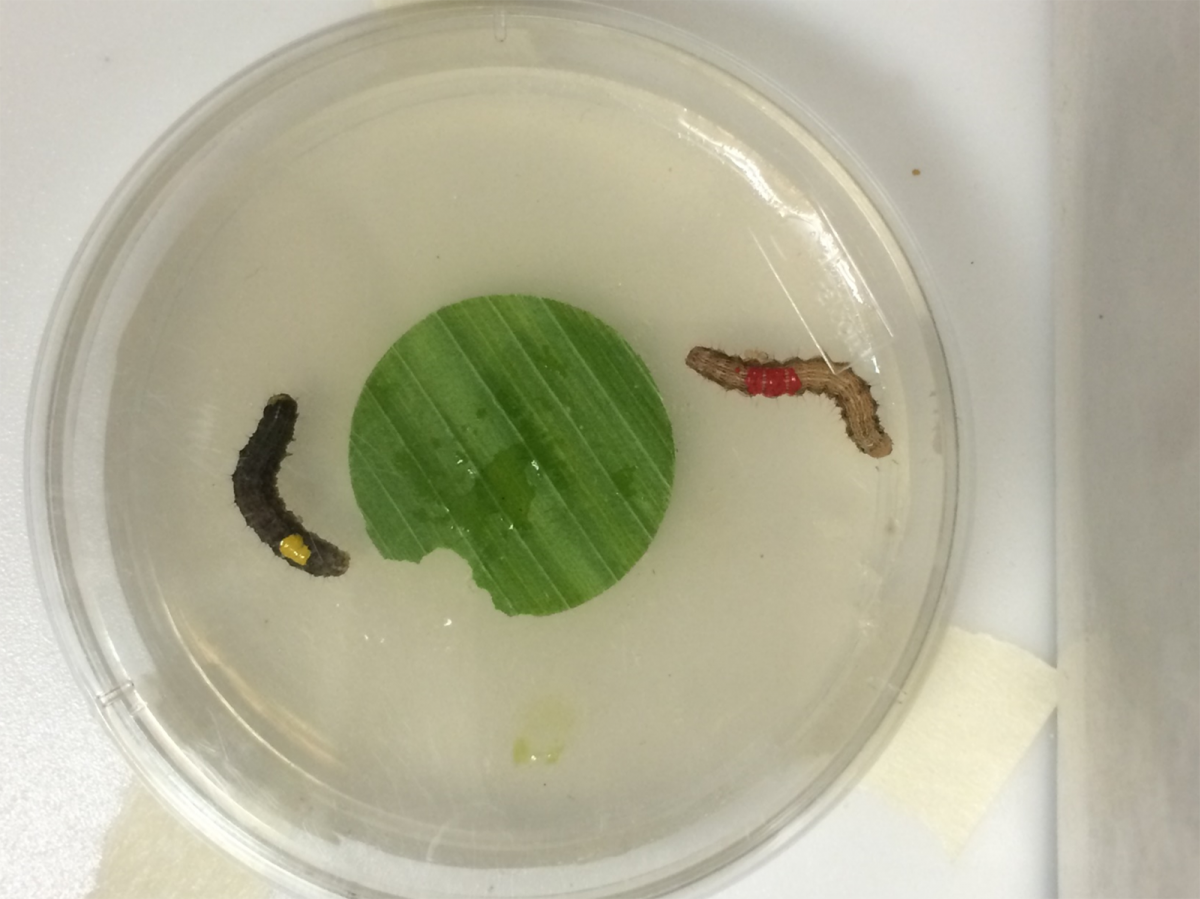 Laboratory research on corn ear pests