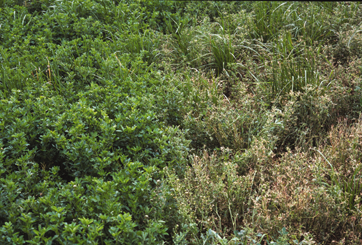 Alfalfa Treatment Comparison