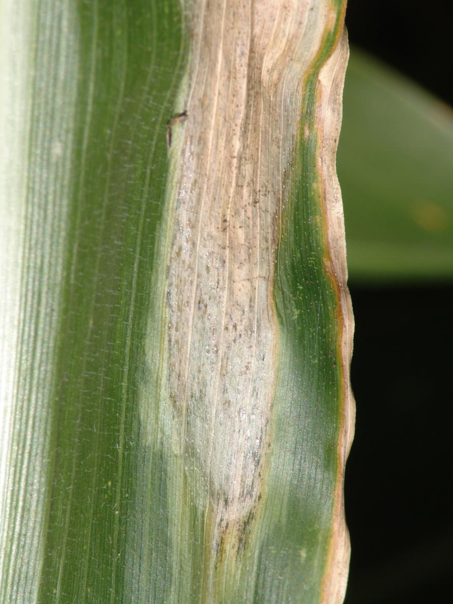 Goss's wilt on corn
