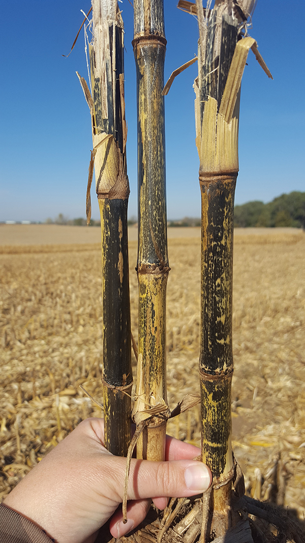 Anthracnose stalk rot in corn