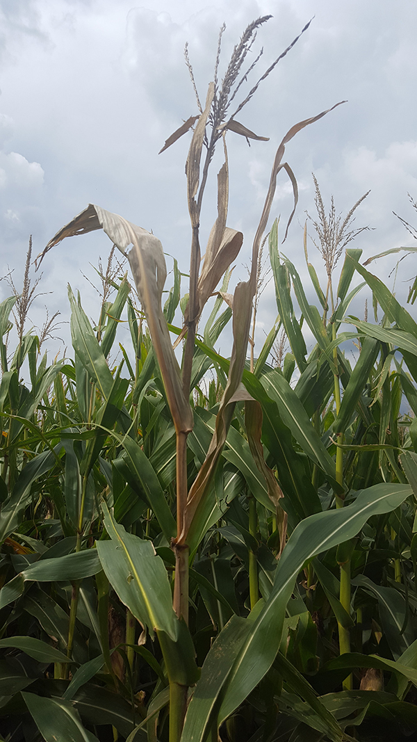 Anthracnose top dieback in corn