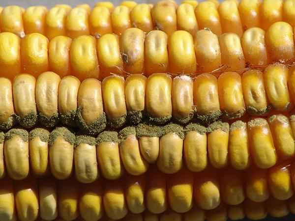 Aspergillus ear rot on corn