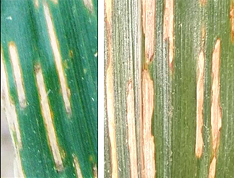 Gray leaf spot and bacterial leaf stripe