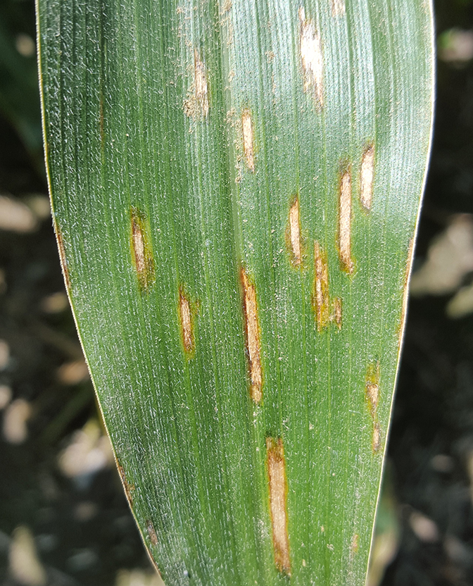 gray leaf spot in corn