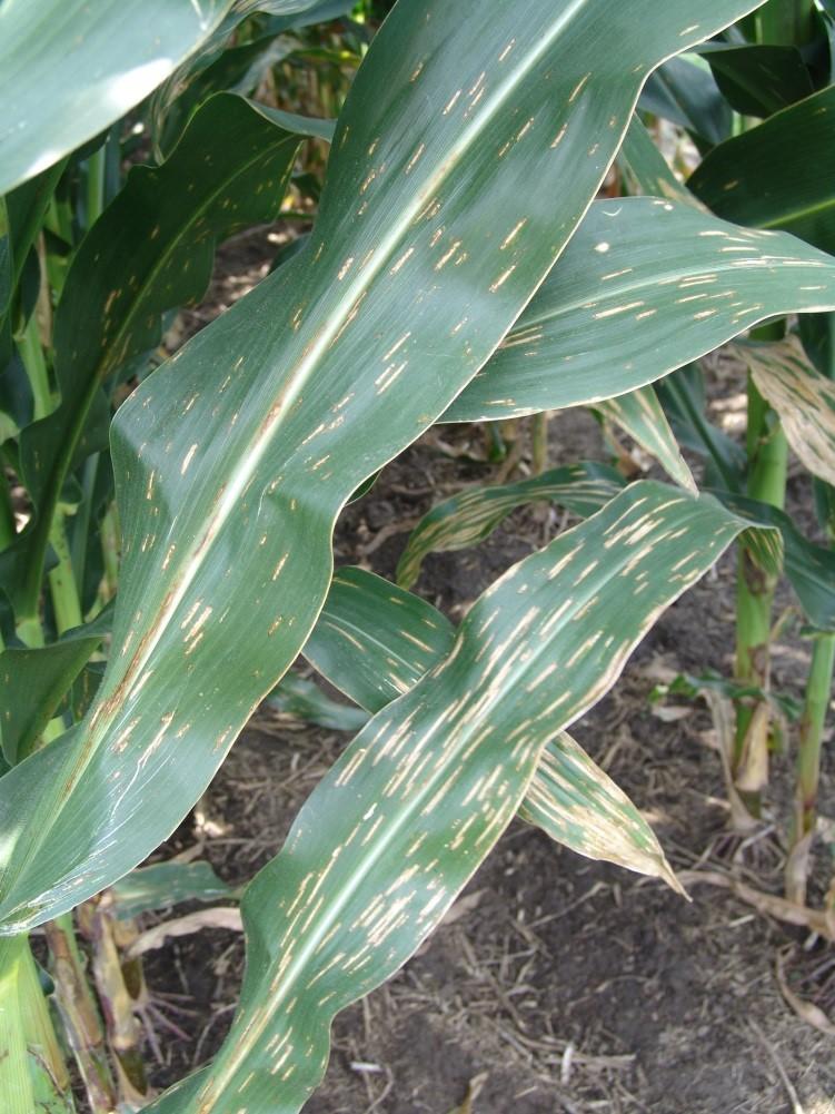 Bacterial Leaf Streak of Corn - Growing Illinois