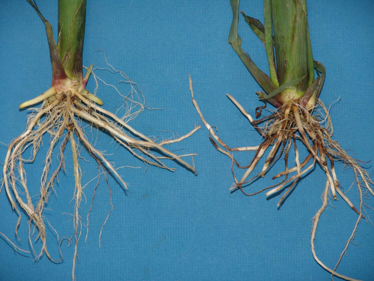 Photo comparison of health corn roots vs diseased roots