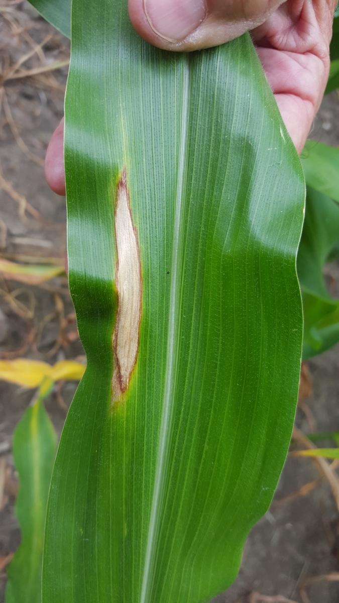 northern corn leaf blight on corn