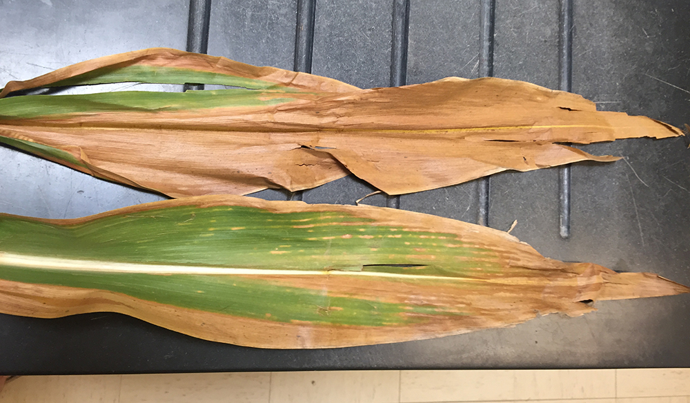 Corn Stalk Rot Diseases