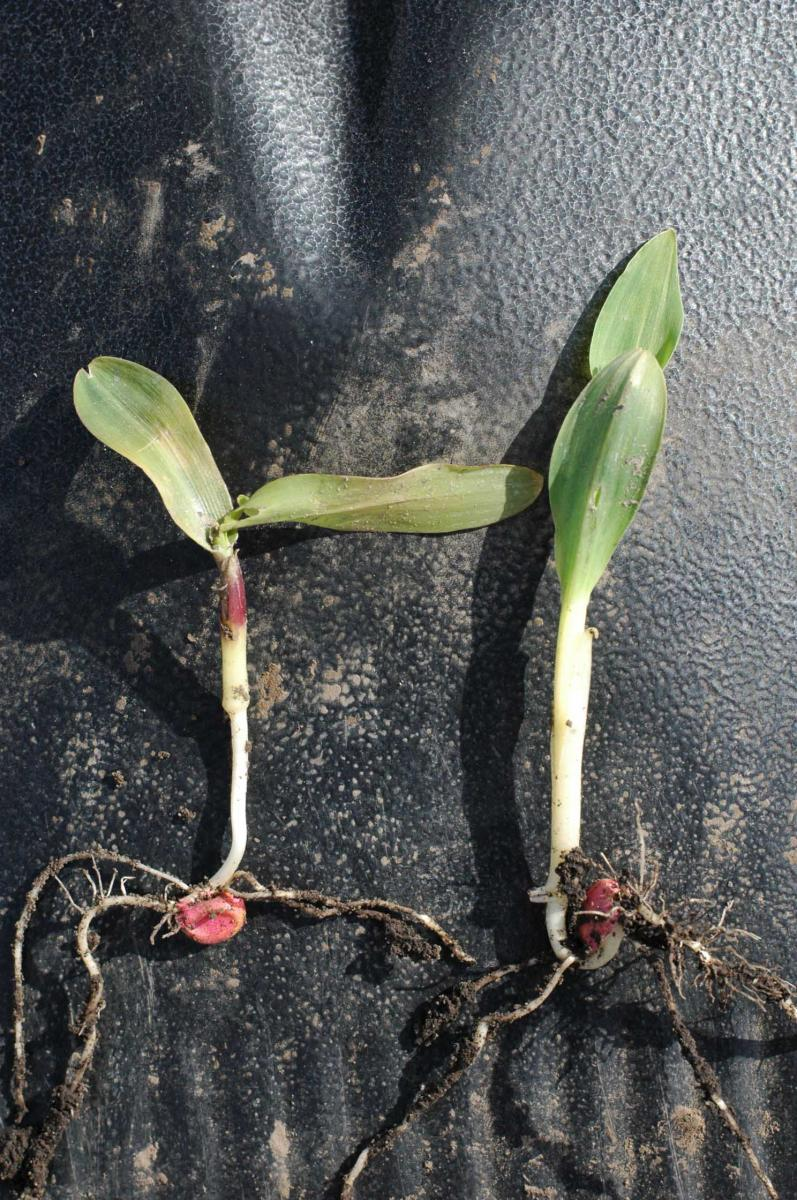 corn seedling freeze damage