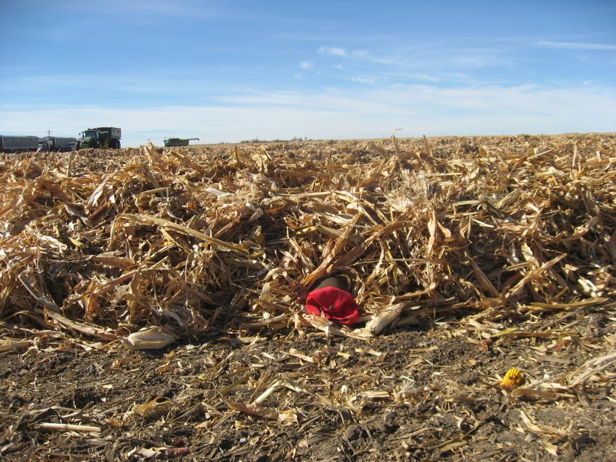 Downed corn