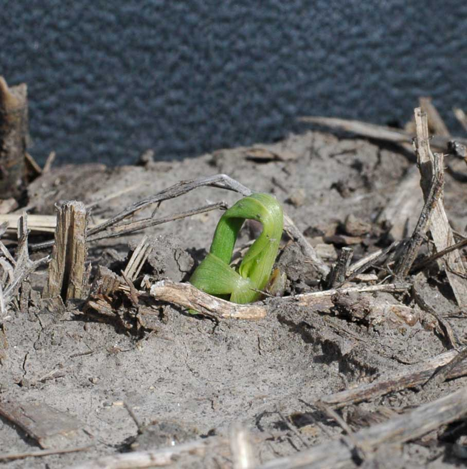 corn seedling damage