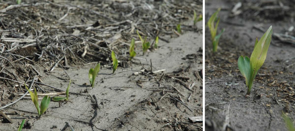 Frost-damaged corn seedlings