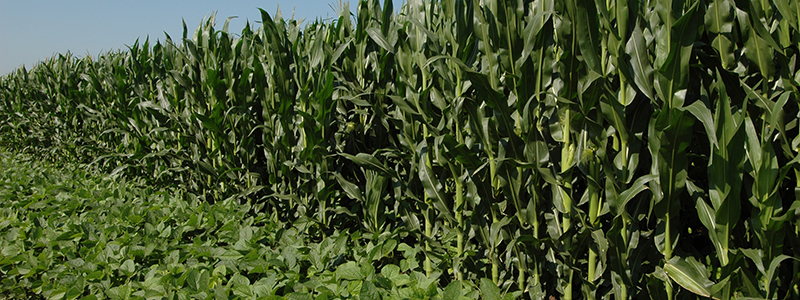fields of corn and soybeans side by side